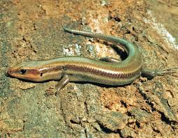 five lined skink mdc discover nature