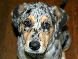 australian shepherd english bulldog mix labrador australian shepherd mix photo happy dog heaven