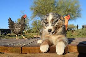 australian shepherd breeders los angeles iron side ranch get quote pet training marana az phone