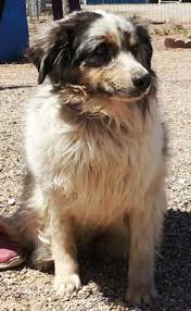 australian shepherd zucht deutschland dogs on pinterest australian shepherd husky husky mix and