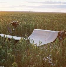 skaters hit a half pipe in the middle of australian cannabis crop