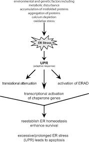 biology of endoplasmic reticulum stress in the heart circulation