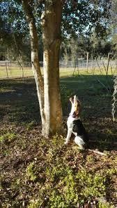 bluetick coonhound climbing tree treeing walker couonhound photo treeing walker coonhound daisy