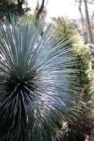 usda native plants sapphire skies beaked blue yucca monrovia yucca rostrata