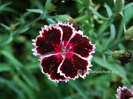 dianthus flower dianthus varieties