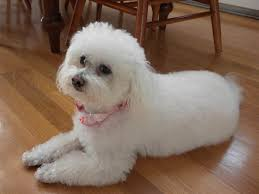 bichon frise breeders texas bolognese dog facts pictures habitat diet appearance
