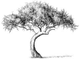 White Oak Tree Drawing Drawing Lesson Tree The Scribbles Institute