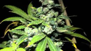 medical marijuana final 48 hours of darkness youtube