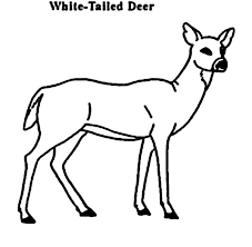 deer coloring pages white tailed coloringstar
