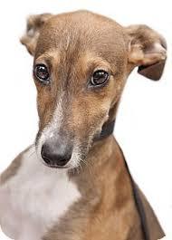 belgian shepherd x greyhound 11 best whippet jack russells dogs i love images on pinterest