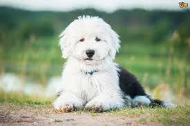 bearded collie mdr1 hereditary health and longevity of the smooth collie dog breed