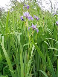 Sweet Flag Herb File Iris Versicolor 5 Jpg Wikimedia Commons