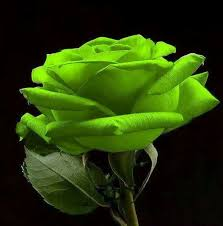 green roses 87 best green roses images on green flowers