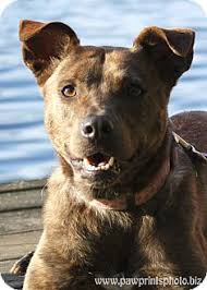 australian shepherd kalamazoo minnow adopted dog kalamazoo mi dutch shepherd pit bull