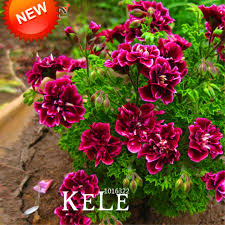 petals for sale sale 20 pcs pack crimson flower petals geranium seeds perennial