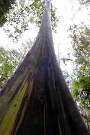 the rainbow eucalyptus ferrebeekeeper