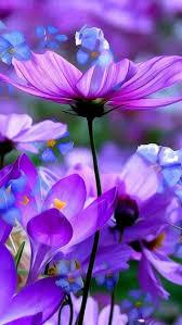 soft u0026 beautiful picture of purple u0026 blue flowers nature