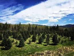 viewers u0027 choice 2016 best christmas tree farm in new hampshire