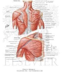 Subscapularis And Supraspinatus Human Anatomy Diagram Human Anatomy Shoulder You Need To Know
