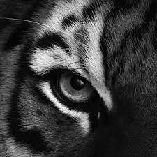 wallpaper black tiger hd tiger wallpapers hd android apps on google play 3d wallpapers