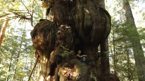 canada s largest tree the cheewhat