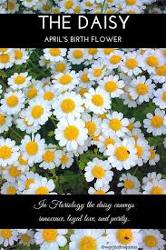 best 25 april birth flowers ideas only on pinterest daisy