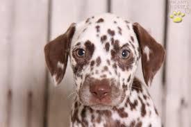 polka dalmatian puppy sale mount vernon lancaster
