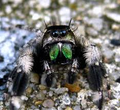 jumping spiders are the cutest and you can catch your own