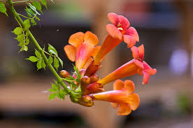 growing trumpet vines u2013 information on the care of trumpet vines