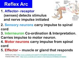 Motor Reflex Arc Homeostasis And The Nervous System Ppt Video Online Download