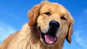 Wallpaper Dogs Golden Retriever Wallpapers Group 88