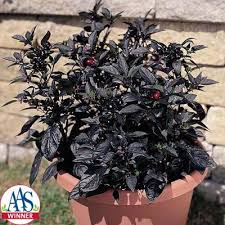 ornamental pepper black pearl harris seeds