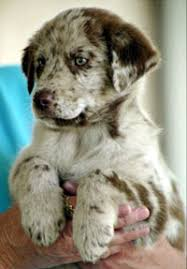 4 week old australian shepherd pets in need 9 week old australian shepherd mix ready for loving
