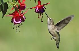 hummingbird flowers hummingbird flowers