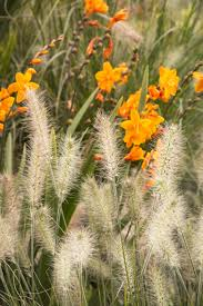 ornamental grasses add a untamed look to your garden the