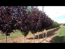 field trees at fort collins wholesale nursery