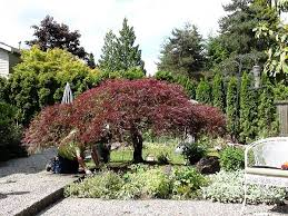 Ornamental Maple Tree Jd Tree Service Tree Pruning Tree Trimming Serving Seattle