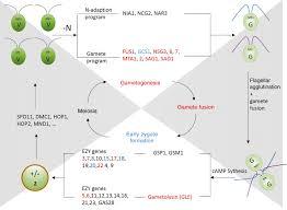 seaweed reproductive biology environmental and genetic controls