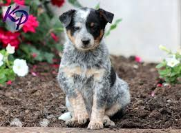 australian shepherd qld australian cattle puppies puppy dog gallery