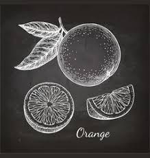 ink sketch of orange royalty free vector image