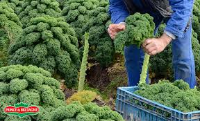 comment cuisiner le chou kale où trouver du chou kale cuisinons les legumes