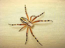 aculepeira armida medusa spider http en wikipedia org wiki