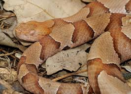 copperhead snakes facts bites u0026 babies