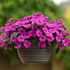 impatiens flowers impatiens flowers growing tips best types to plant