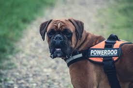 boxer dog 2015 brown boxer dog with orange black powerdog vest free stock photo