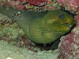 green moray eel theromantictraveler