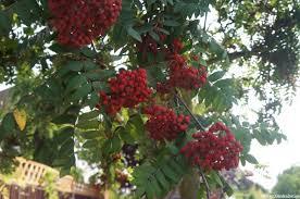 rowan tree plews garden design