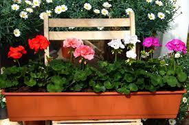 geranien balkon bepflanzter balkonkasten mit stehenden geranien farb mix