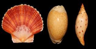 Where To Buy Seashells Florida Seashells And Fossils Quality Florida Fossil Sea Shells