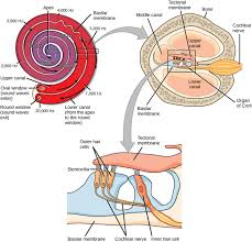 Inner Ear Anatomy And Physiology Hearing And Vestibular Sensation Boundless Biology